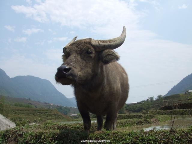 A water buffalo at rice paddy on the way to Lao Chai Village of ethnic Zay in Sapa